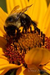 0916_031.jpg (Vince Amato Photography) Tags: flower torontoislandpark park insect bee animal honeybee