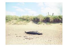 (harald wawrzyniak) Tags: analogue analog film scan mediumformat 120mm kodak portra haraldwawrzyniak harald wawrzyniak dolphin beach ireland irland eire nature sand dead 2016