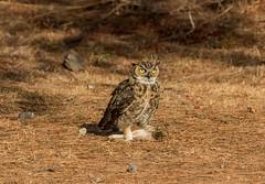 341 (gabigruia96) Tags: 7dii sigma california great horned owl rabbit