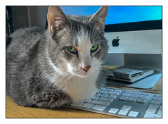"""Kitten"" on the Keys (Timothy Valentine) Tags: 2018 home keyboard 0718 cat happycaturday forbiddenplaces imac quinnomannion datesyearss eastbridgewater massachusetts unitedstates us"