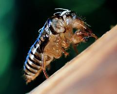 Exoskeleton of a cicada (J-Fish) Tags: exoskeleton cicada platypedia homoptera insect macro california sanbornpark tamron90mm tamron90mmmacrof28di