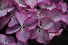 Hydrangea Hovaria Mirai (natureloving) Tags: hydrangeahovariamirai macro flower nature flowersinfrance flowersineurope fleursenfrance natureloving nikon d90 afsvrmicronikkor105mmf28gifed nikonafsdxnikkor18300mmf3563gedvr