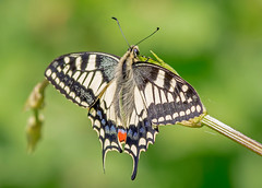 DSC6867  Swallowtail.. (jefflack Wildlife&Nature) Tags: swallowtail butterflies butterfly insects insect lepidoptera wildlife wetlands woodlands countryside copse glades bushes hedgerows marshland meadows marshes fens strumpshawfen rspb norfolk nature