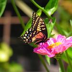 swallowtail butterfly 7 30 18 thumbnail