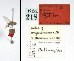Aricia hilarella Zetterstedt, 1845 (Biological Museum, Lund University: Entomology) Tags: diptera zetterstedt anthomyiidae aricia hilarella delia angustiventris mzlutype00331