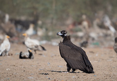 Cinereous Vulture (Koshyk) Tags: aegypiusmonachuscinereousvulture blackvulture monkvulture bikaner rajasthan vultureconservationbikaner nikon nikkor500mmf4 nikond500