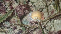 Pink moon snail (Naticarius zonalis) (wildsingapore) Tags: changi carpark7 mollusca gastropoda natica zonalis naticidae singapore marine coastal intertidal shore seashore marinelife nature wildlife underwater wildsingapore