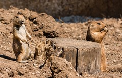 Prairie dogs (kimbenson45) Tags: cotswoldwildlifepark cynomysludovicianus animals blacktailedprairiedogs brown differentialfocus eating food heads nature outdoors paws shallowdepthoffield