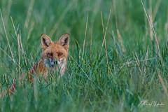 Red Fox - Vulpes vulpes | 2018 - 21 (RGL_Photography) Tags: carnivora fox gardenstate jerseyshore kits monmouthcounty mothernature newjersey nikonafs600mmf4gedvr nikond500 redfox us unitedstates vixen vulpesvulpes wildkingdom wildlife wildlifephotography ©2018rglphotography