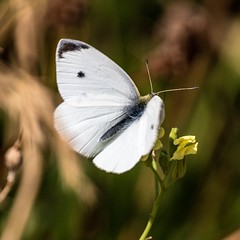 Great white (andymulhearn) Tags: xpro2 fujinonxf100400mmf4556rlmoiswr fuji apexpark somerset butterfly
