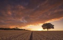 Straight to Sunset (Captain Nikon) Tags: sunset rural countryside lonetree field cropfield crops stantonbydale derbyshire england moody epicsky leadinglines nikond7000 sigma1020mmf4 srbgraduatedneutraldensityfilter06 landscapephotography