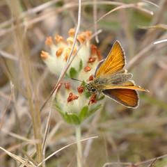 Small Skipper (stephen.reynolds) Tags: small skipper butterfly tout quarry portland orange flower