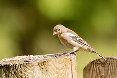 At Leighton Moss RSPB Reserve (kenemm99) Tags: lancashire birds rspb summer canon leightonmoss 7dmk2 kenmcgrath