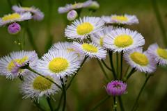 Fleabane Chaos - Breaking All The Rules (Modkuse) Tags: fleabane flowers flower wildflowers nature natural nikon nikondslr nikond700 nikon105mmf28macronikkor 105mm colorful colorfulflowers