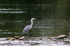 Heron (oddbodd13) Tags: bird waterfowl heron rocks lake pond greyheron