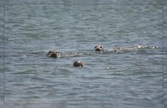 ()()() Surfacing Harbor Seals - I. ()()() (Wolverine09J ~ 1.5 Million Views) Tags: midnightandoregonjun18 harborseals nature marinemammal surfacing centralcoast siletzbay curious swimming springtime pacificocean blinkagain thelooklevel1red level1thewondersofnature fantasticnature nationalgeographicwildlife 1goldwildlife spiritofphotography natureoftheworldunlimited welovewildlife batslair splash