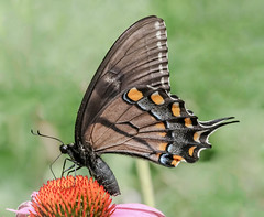 Female Eastern Tiger Swallowtail (tresed47) Tags: 2018 201807jul 20180726springtonmacro butterflies canon7dmkii chestercounty content easterntigerswallowtail folder insects july macro pennsylvania peterscamera petersphotos places season springtonmanor summer swallowtail takenby technical us ngc
