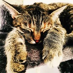 Attendre la fraîcheur.. (fourmi_7) Tags: sieste repos ete dormir chaleur animal chatte chat