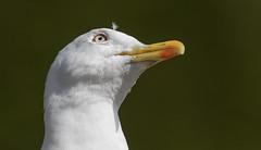 Lesser Black Backed Gull (snapp3r) Tags: lesserblackbackedgull victoriapark