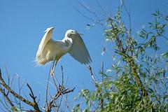 Avec délicatesse... (philfoto72) Tags: oiseaux aigrette garzette danube crisan