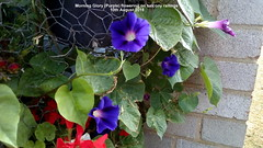Morning Glory (Purple) flowering on balcony railings 10th August 2018 (D@viD_2.011) Tags: morning glory flowering balcony railings 10th august 2018