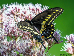 BLACK SWALLOWTAIL (male) (imeshome) Tags: nature flowers colors black beautiful bug nector wildlife flying wildwood butterfly bush yellow male chrysalis caterpillar