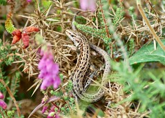 Lizard on the gorse (crs17) Tags: lizard common arne rspb