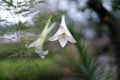 _DSC0269 (kymarto) Tags: bokeh bokehlicious bokehphotography dof depthoffield flowers flowerphotography nature naturephotography beauty beautiful sony sonyphotography sonya7r2 oldlens vintagelens