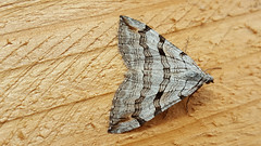 20180812_113536_edited-1 (Paul Young1) Tags: stjohnswortinchworm geometridae treblebar aploceraplagiata 1 one single moth moths animal animals insect insects insecta arthropod arthropods arthropoda lepidoptera nature wild wildlife uk british britain perched perching close study imago unitedkingdom closeup top topview openwings