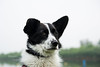 Penny (MelissaW Dog Photography) Tags: penny corgi mix ruffwear webmaster dog cute sweet soft friend spring twiske nature nikon d5200 tamron 1750 28 nonvc happy pet red green animal grass field tree forest summer water lake
