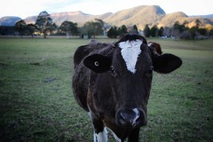 Scenic shots from Kangaroo Valley and surrounds (sallyanne.latham) Tags: dairyfarm dairy australia friendly cheeky quiet peaceful farm rural countryside shoalhaven views mountains cow kangaroovalley