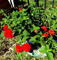 Lantana (austexican718) Tags: centraltexas hillcountry garden flower pots sonyphotographing