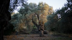 olive tree (kadircelep) Tags: green tree olive olivetree island farming sunset greece chios old nature