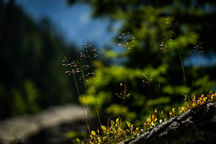 Alpine Summer (cs_one) Tags: grass blur flora nature flower outdoors summer dof leitschachtal sommer light