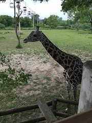 "Giraffe at the Kansas City Zoo • <a style=""font-size:0.8em;"" href=""http://www.flickr.com/photos/109120354@N07/43547815811/"" target=""_blank"">View on Flickr</a>"