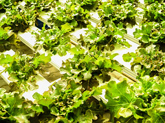 Hydroponic Farm (www.icon0.com) Tags: farm green food hydroponic agriculture garden organic vegetable water fresh plant leaf growth healthy cultivation technology nature grow greenhouse salad lettuce health environment industry farming modern plantation field nutrition background