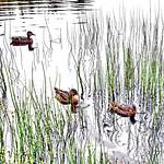 Ducks thumbnail