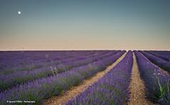 Lavender field (Ignacio Ferre) Tags: lavanda lavender field campo cultivo brihuega guadalajara españa spain anochecer sunset paisaje landscape nikon purple morado castillalamancha ngc