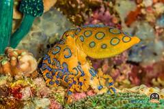 GREATER BLUE-RINGED OCTOPUS (70mm) (Sonja Ooms) Tags: anilao animal blueringed chrystalblueresort greater greaterblueringedoctopus hapalochlaena hapalochlaenalunulata lunulata macro nature octopus philippines underwater water