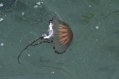 Jellyfish feather (daisyglade) Tags: jellyfish sea feather hightide cornwall july summer compassjellyfish