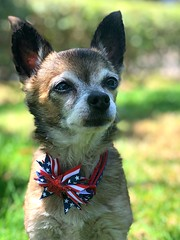 Independence Day Buster (irene_joy) Tags: stripes star flag america holiday day independence 4thofjuly 4th dog chihuahua buster