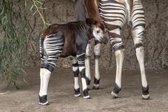 Okapi calf (San Diego Zoo Global) Tags: okapi okapicalf baby babyanimals sandiegozoo endangered endangeredspecies ungulate ungulates forest forestgiraffe animals nature wildlife animal
