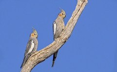 lagoon creek - cockatiels (Fat Burns ☮) Tags: cockatiel nymphicushollandicus parrot bird australianbird fauna australianfauna nikond500wildlifeaustralianwildlifelagooncreekbarcaldinequeenslandaustralia nikon200500mmf56eedvr