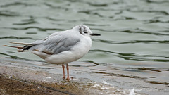 Bonaparte's Gull (Bob Gunderson) Tags: lakemerced sanfrancisco birds bonaparte'sgull gulls