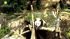 2018_07-27b (gkoo19681) Tags: beibei chubbycubby fuzzywuzzy adorableears treattime sugarcane disappointment brighteyed wishing toocute sillygoober toofunny beingadorable posing beinggood amazing sunkissed precious comfy ccncby nationalzoo