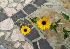 Opposites (Esther Spektor - Thanks for 12+millions views..) Tags: stem pavement stone pattern plant bud leaf opposites yellow green grey brown estherspektor canon