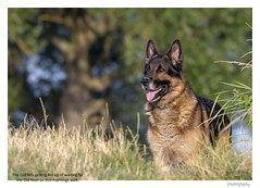 RIP Buddy No 18 in explore 31/07/18 Thank you. (Trevor Watts Photography) Tags: charlie gsd pet dog