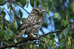 IMG_7033 (superbradphotos) Tags: superbrad superbradphotos ianbradley littleowl owl yorkshire graveyard cemetery