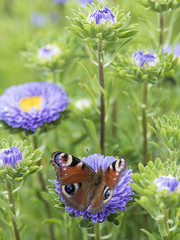 Visite en Chine (Titole) Tags: chinaaster reinemarguerite paondujour peacockbutterfly titole nicolefaton butterfly flowers