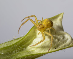 Yellow Crab Spider (Bill McDonald 2016) Tags: spider crab yellow ontario july 2018 billmcdonald wwwtekfxca grenfellweeblycom leaf summer canon macro closeup